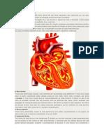 Anatomia Geral Do Coração