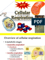 Mitochondria Cellular Respiration