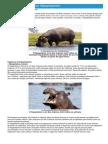 Hipopótamos - Ficha do Animal - Como funcionam os hipopótamos.