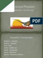 Pheasants (3)