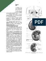 Anatomia Del Sistema Genitourinario