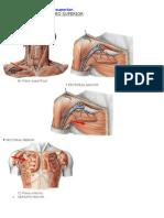 Anatomia3 Musculos Del Miembro Superior (2)