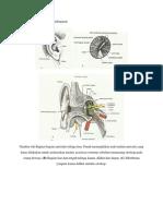 Anatomi Fisiologi Sistem Pendengaran