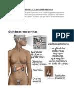 Función de Las Glándulas Endocrinas