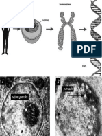 Oroklodes Human Genetika