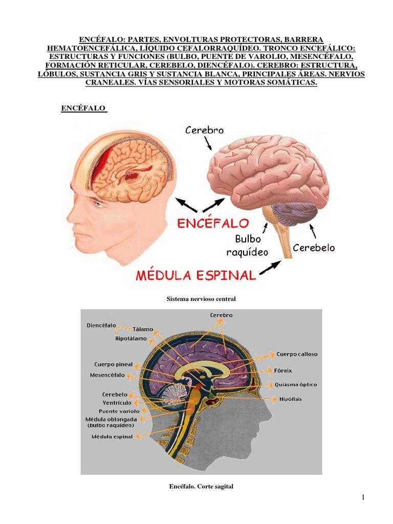 Lujo La Anatomía Y La Fisiología Del Cerebro Y De Los Nervios ...