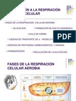 3. Respiracion Celular