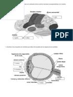 Cerebro y Ojo