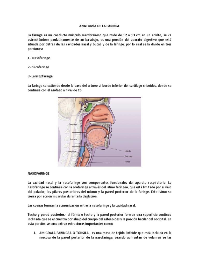 Lujoso Anatomía De La Faringe Y La Laringe Ideas - Imágenes de ...