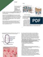 bacterias gram-.docx