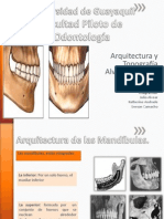 Exposicion Anatomia Arquitectura Alveolodentaria