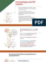 Anatomía Fisiológica Del SN Parasimpático