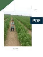 04-Cultivo de Quinua en Costa - Experiencia en Lambayeque.