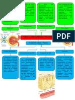 Túbulo Contorneado Proximal