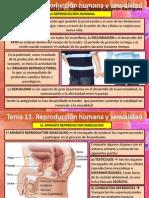 Tema 11 Reproduccion Humana