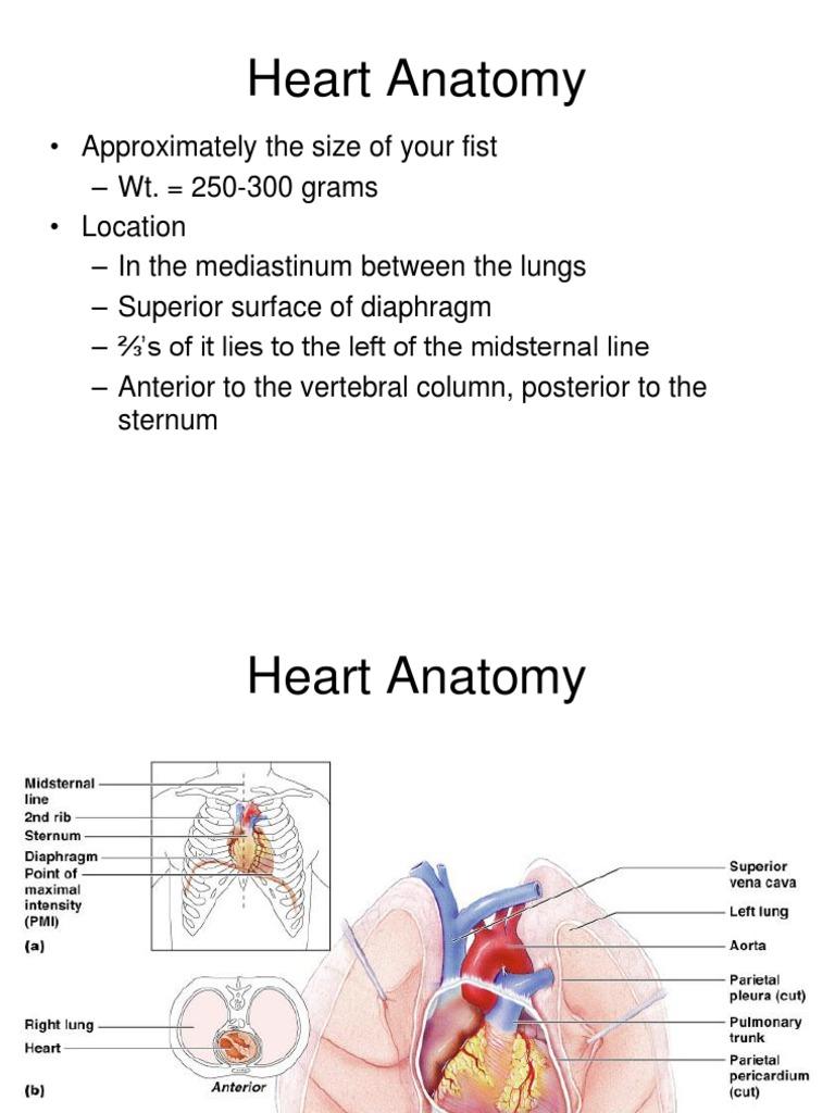 Heart Anatomy Heart Valve Ventricle Heart