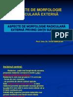Morfo radiculara