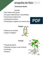 Organografia Da Raiz