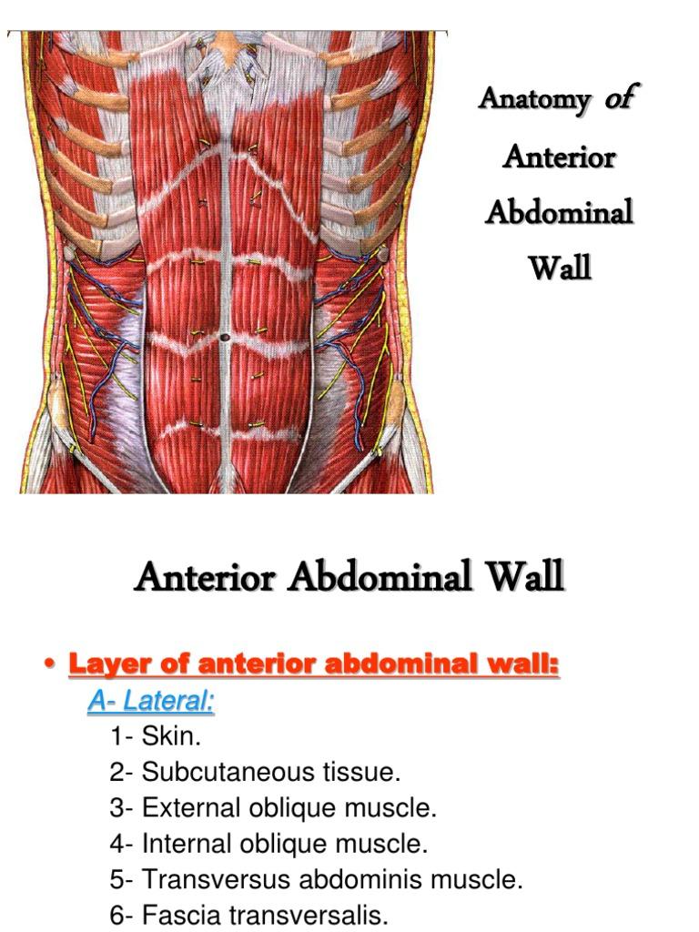 Anterior Abdominal Wall   Abdomen   Human Anatomy