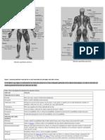Músculos superficiales anteriores