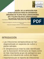 Distribución de La Infección Por Streptococcus Iniae En