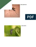 Aedes Albopictius