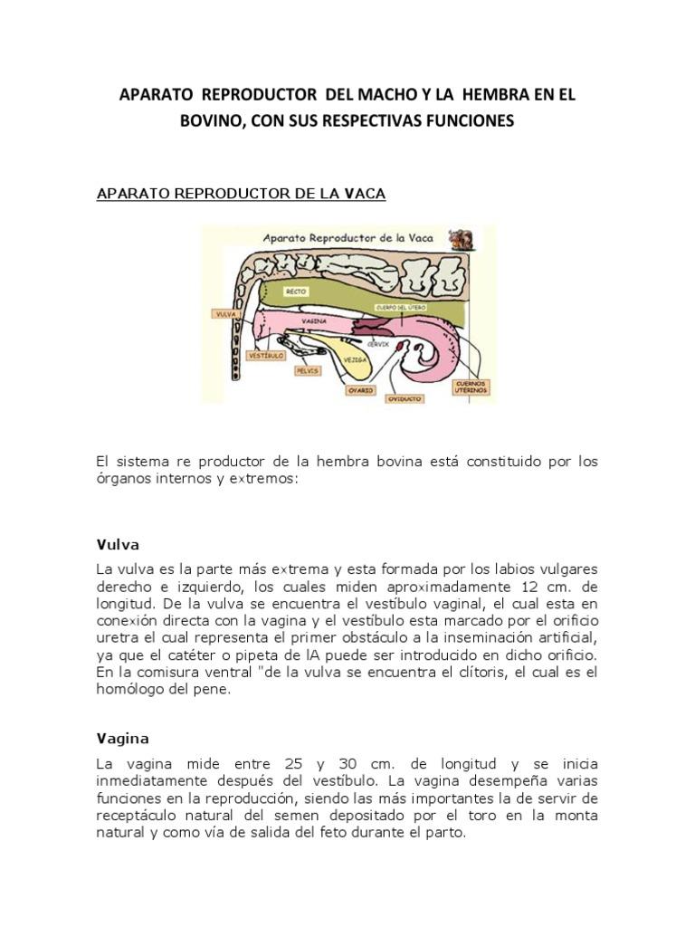 APARATO REPRODUCTOR DEL MACHO Y LA HEMBRA EN EL BOVINO.docx