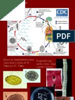 Diphyllobothrium Latum