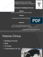 Ulcera Corneal Bulldog Frances