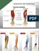 Musculos Anteriores Del Antebrazo y Mano