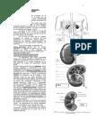 Apuntes Anatom Urogenital