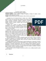 Lavanda - Planta Medicinala