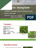 Acacia Manguim