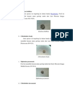 Foraminifera Benthonik