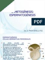 6GAMETOGÉNESIS espermatogenesis
