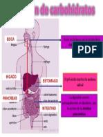 Digestión de Carbohidratos
