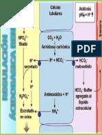 Regulación Ácidobasica Renal