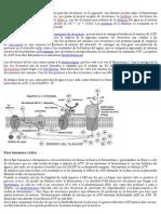 Fotofosforilación acíclica