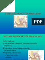 2 1 Organo Reproductor Masculino