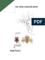 Tema 3 Neurologia Comunicacion Neuronal