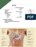 Anatomi Digestif