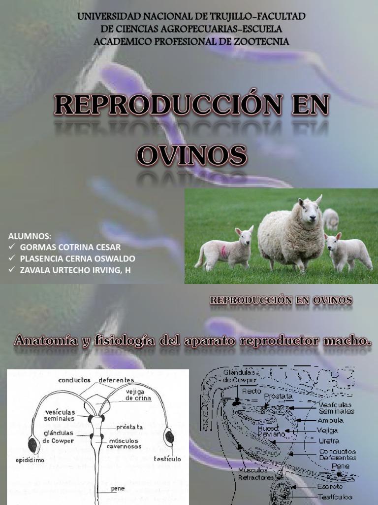 Único Anatomía De Las Ovejas Viñeta - Imágenes de Anatomía Humana ...