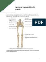 Vascularizacion e Inervacion Del Miembro Inferior