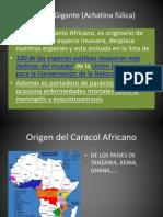 Presentación Caracol Africano - Copia