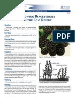 Growing Blackberries in the Low Desert
