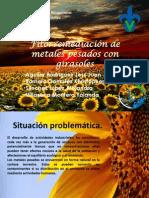 Fitorremediación de Metales Pesados Con Girasoles