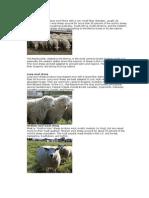 Fine Wool Sheep