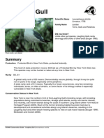 Laughing Gulls Info Sheet