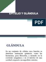 Epitelio y Glándula