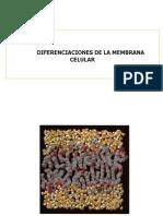 Final 4.Diferenciación de La Membrana Celular